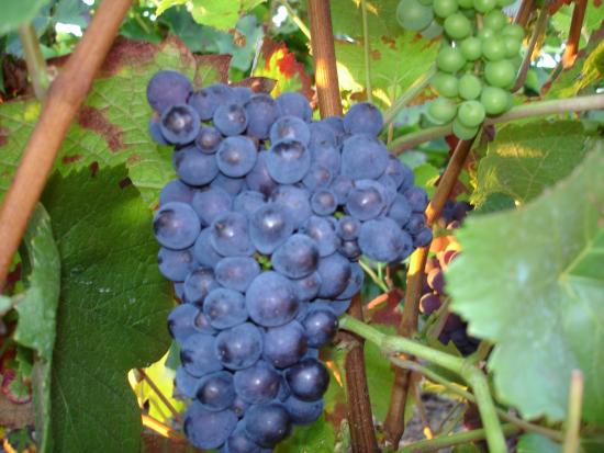 Mailly-Champagne, Frankrijk: Ripe Pinot Noir Grape