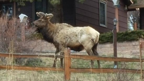 Ponderosa Lodge: Elk on the roadside.