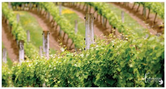 Ascension Winery: Vines