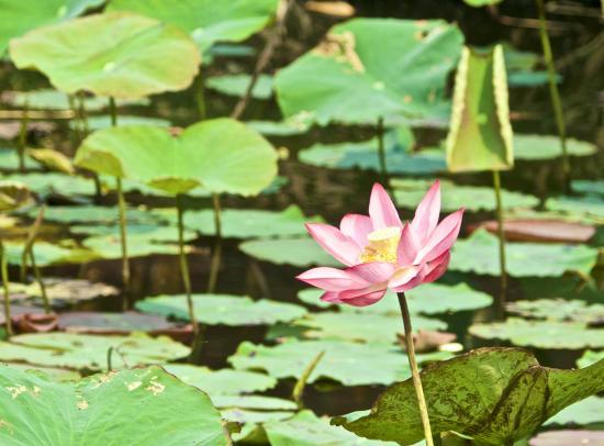 Phu Thinh 1 Hotel : lotus