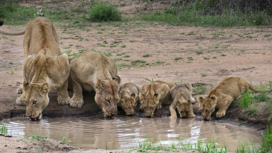 Londolozi Private Game Reserve, África do Sul: Mother lions and their cubs drinking after eating on a kudu.