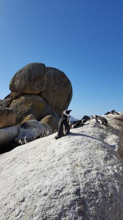 Penguins at Boulders Beach - short drive from Tiana Guest house