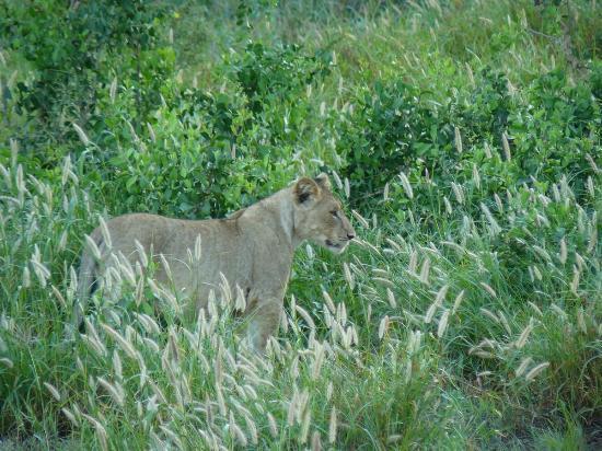 Mkuze Game Reserve, Sudáfrica: game drive - leoness