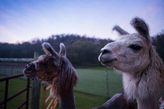 Σπάρτη, Ουισκόνσιν: Pet the Llamas!