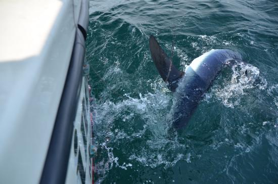 LiveLiner Charters: One of five blue shark we caught