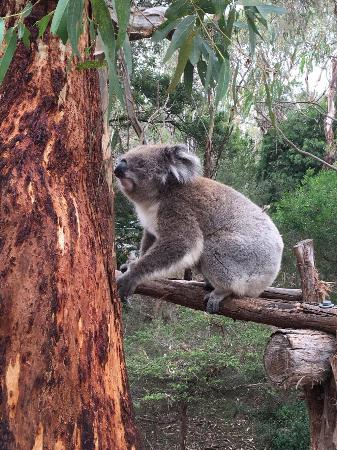 Cowes, Australia: Koala getting ready to climb up the tree, this one is missing an eye