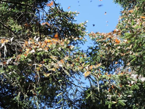 La Reserva de la Biosfera Mariposa Monarca