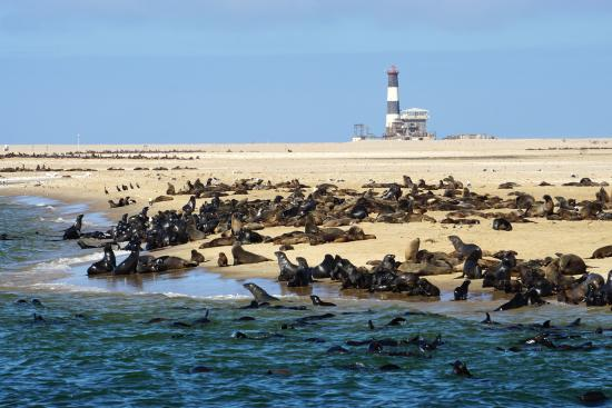 Walvis Bay, Namibia: Seal Colony near the Pelican Point Lighthouse.