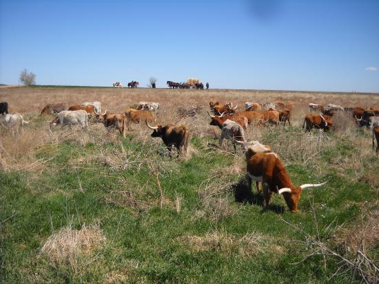 Bucklin, KS: Longhorns grazing during the drive