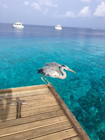 Vivanta by Taj Coral Reef Maldives: Gray herron