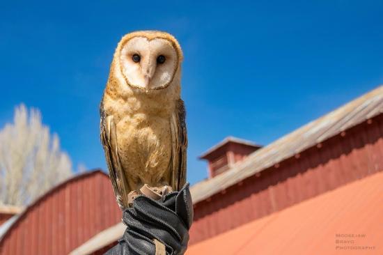 Wilson, WY: TRC's newest resident raptor is a Barn Owl. Photo by Moosejaw Bravo Photography.