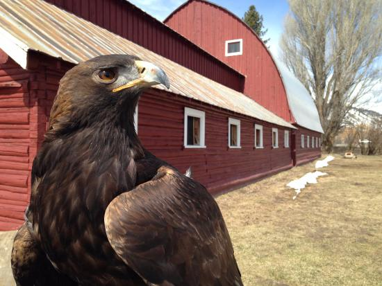Wilson, WY: Gus the Golden Eagle. Photo by Carl Johnson.