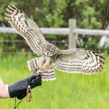 Wilson, WY: Mendel - one of the many owls at Teton Raptor Center. Photo by Becca Bredehoft.