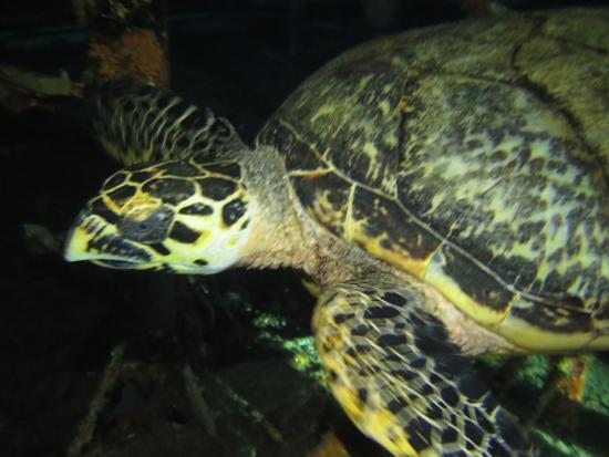 Saint-Eustache : Hawksbill turtle