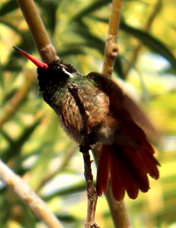 Todos Santos, México: Endemic Xantus' Hummingbird in the Hotel garden.