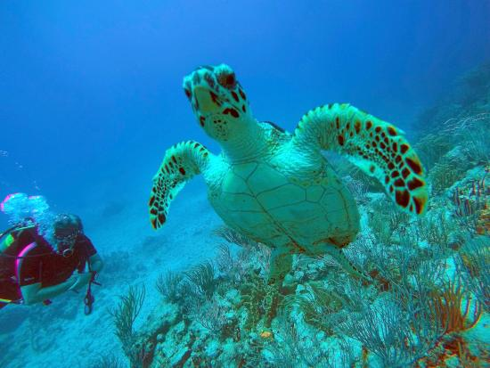 Simpson Bay, St Martin / St Maarten: We saw tons of turtles, some of whom were very close like this guy