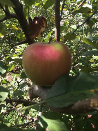 Bilpin, Australia: Pink lady apples :)