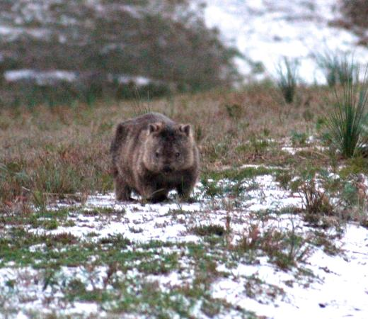 We Saw The Wombat In Wilsons Prom Thanks To Advise From The Owner Of