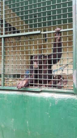 Región de Lagunes, Costa de Marfil: Шимпанзэ Рэмбо.