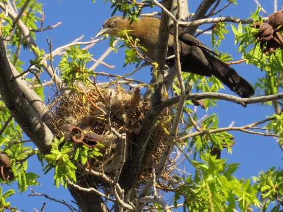 Mountain Valley Lodge & RV Park: Nesting Birds 4/13/16