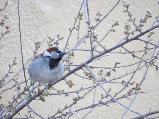 Rodeo, Nuevo Mexico: Black throat Sparrow 4/13/16