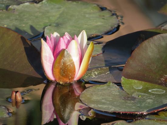 Mountain Valley Lodge & RV Park: Lily Pad Flowers 4/13/16