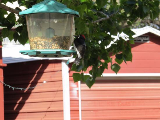 Portal, AZ: Woodpecker 4/16