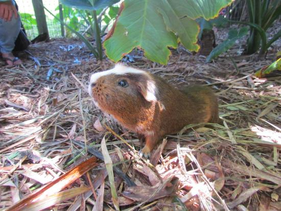 Haiku, Hawái: Watch out for guinea pigs underfoot