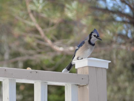 Mont Tremblant Resort: Blue Jays, Birds Watching & Photography @ BB Saffron