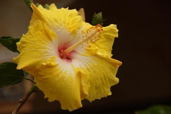 jardin encantado park yellow hibiscus