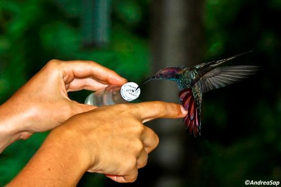 Wiltshire, Τζαμάικα: Colibrì mango che si poggia sul dito per succhiare il nettare