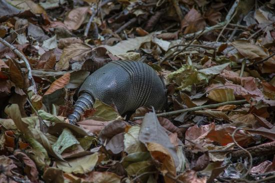 Cabo Blanco Absolute Natural Reserve: Armadillo en Cabo Blanco