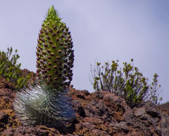 Kula, HI: Silversword in full bloom