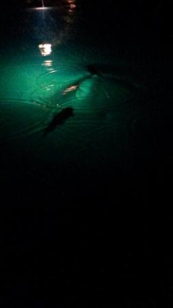 St-Leonard, Швейцария: 船頭さんが餌を投げるとジャンプするニジマス