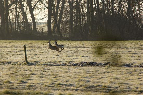 Workum, Países Bajos: Deer in the Nature reserve next door