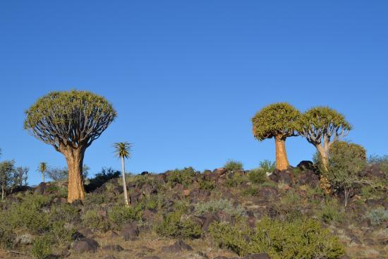 Китмансхуп, Намибия: Quiver tree Forest