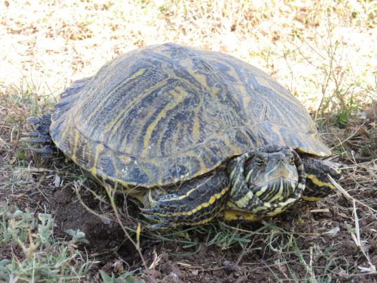 Toyahvale, TX: Tortoise outside our room