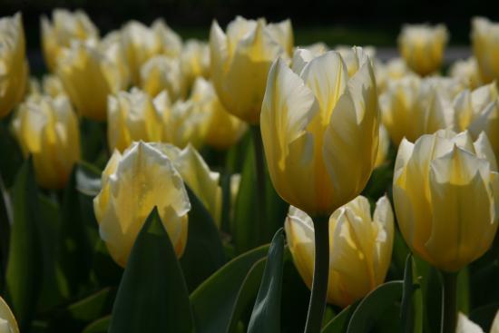 My favorite flowers tulips hershey gardens spring flowers www my favorite flowers tulips hershey gardens spring flowers jerigallery mightylinksfo
