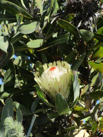 Eastern Cape, Sør-Afrika: Protea