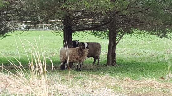 Stockton, NJ: Sheep relax at the Woolverton Inn.