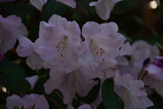 Burnaby, Canada : Deer Lake Park - Rhododendron season and more