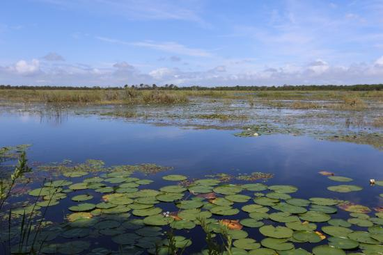 Port Saint Lucie, FL: Lily Pads and Gator