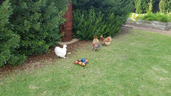 Merrijig Inn : Cute chickens whose eggs we ate