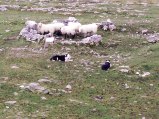 Caherconnell, Irland: Doggies after herding the sheep all in a circle.