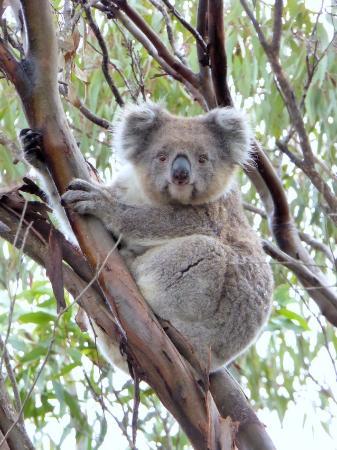 Kingscote, Australia: Coala