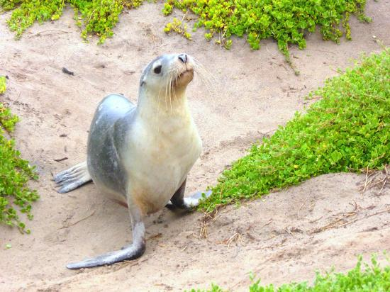 Kingscote, Australia: Seal on a walk