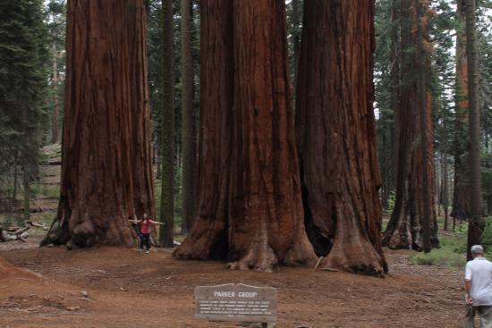 Three Rivers, CA: Gruppo di sequoia