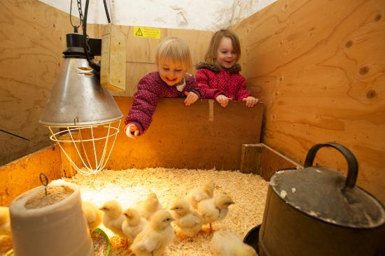 Old Holly Farm: Our petting area means you can let little ones meet our chicks & rabbits. Please make sure you r