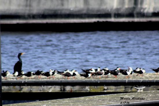 Cormorant and black skimmers on Lake Okeechobee by the Pahokee Marina