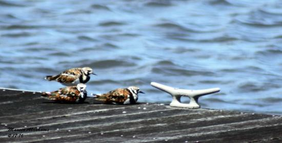 Ruddy turnstones by Lake Okeechobee/Pahokee Marina